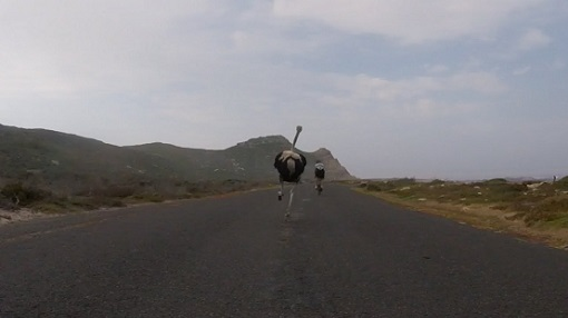 Cyclists in South Africa get chased by ostrich